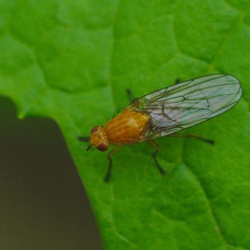 Dryomyza flaveola (Baumfliege)