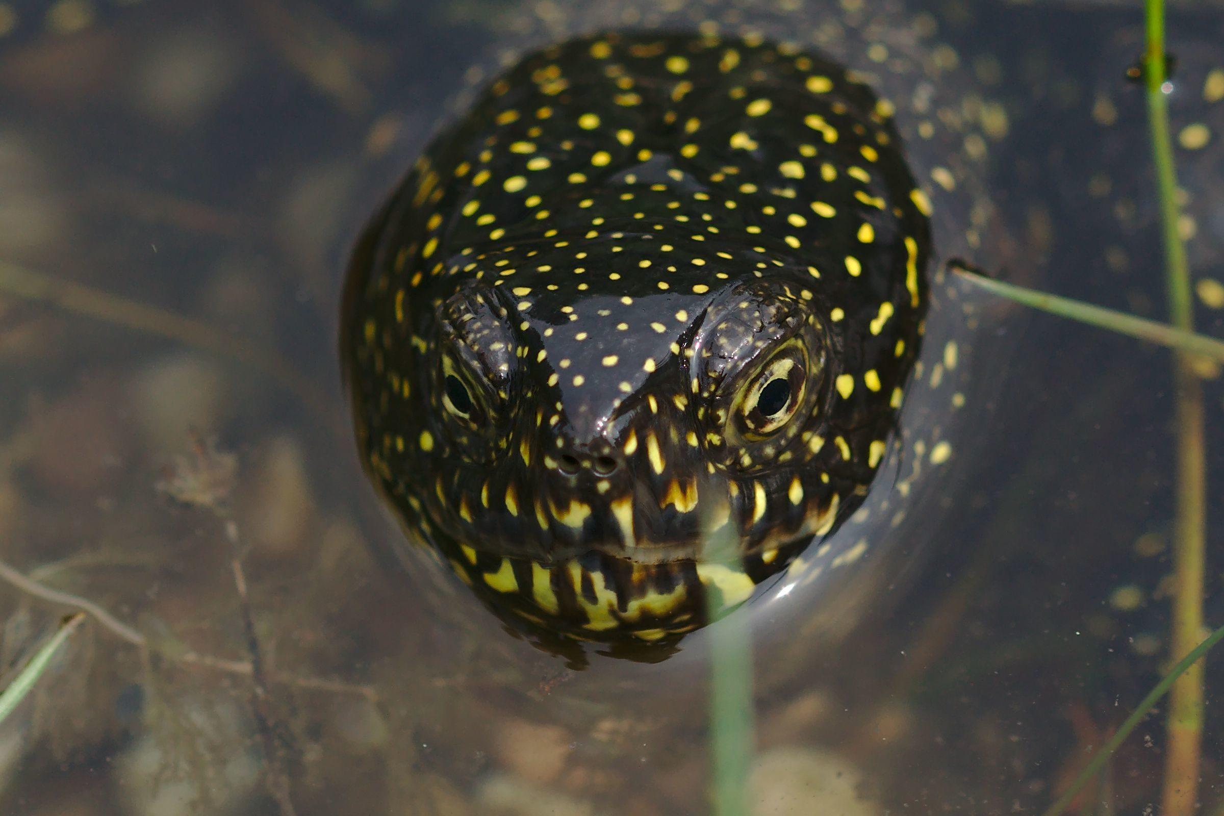 """<a href=""""/emys-orbicularis/"""" target=""""_blank"""" rel=""""noopener noreferrer""""><i>Emys orbicularis</i> (Europäische Sumpfschildkröte)</a>"""