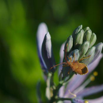 Gonocerus acuteangulatus (Braune Randwanze)
