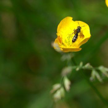 Halictus sp. (Furchenbiene)
