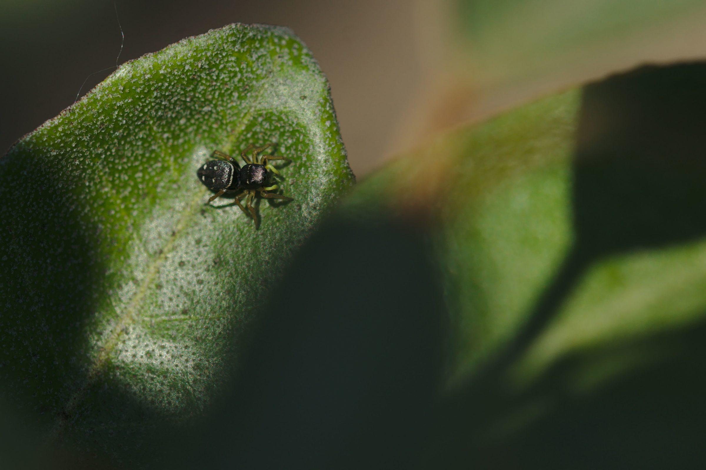 <i>Heliophanus cupreus</i> (Kupfrige Sonnenspringspinne)