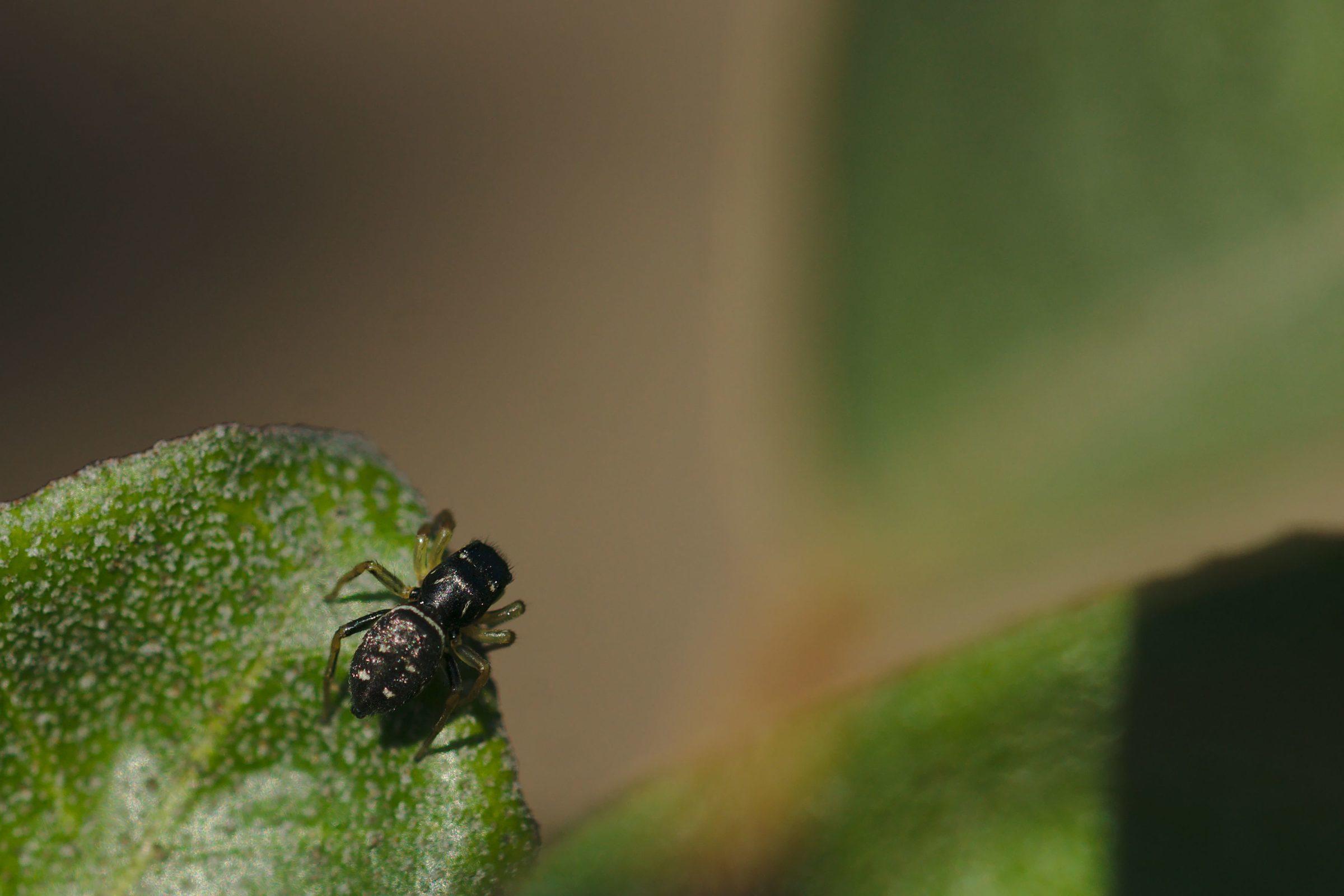 "<a href=""/heliophanus-cupreus/"" target=""_blank"" rel=""noopener noreferrer""><i>Heliophanus cupreus</i> (Kupfrige Sonnenspringspinne)</a>"