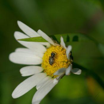 Heliophanus cupreus (Kupfrige Sonnenspringspinne)