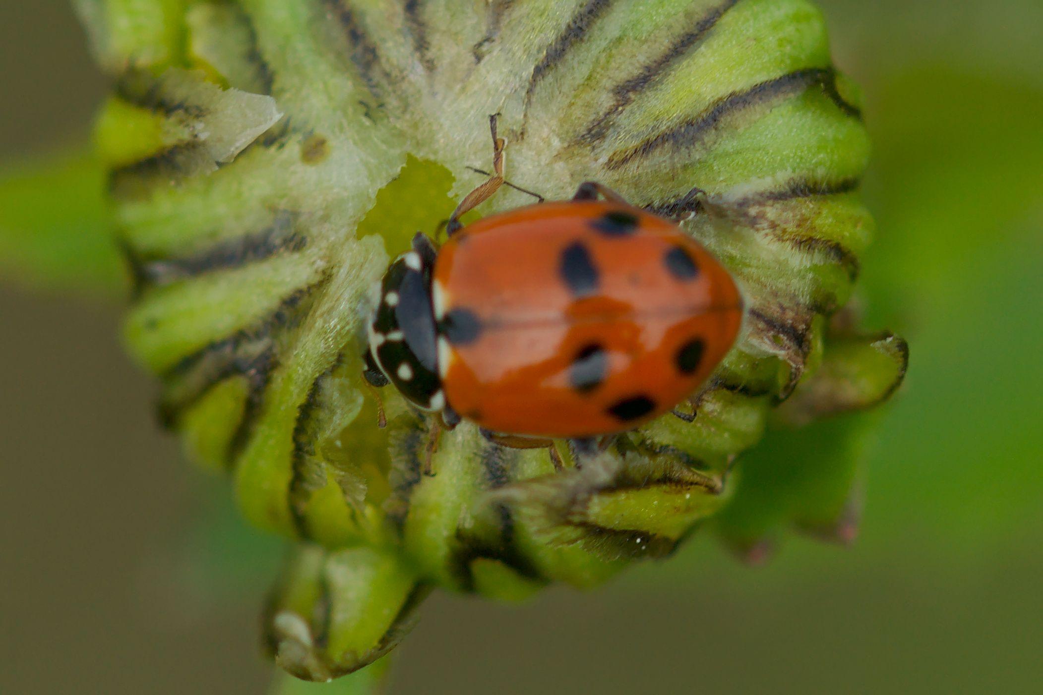"<a href=""/hippodamia-variegata/"" target=""_blank"" rel=""noopener noreferrer""><i>Hippodamia variegata</i> (Variabler Flach-Marienkäfer)</a>"