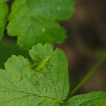 Leptophyes punctatissima (Punktierte Zartschrecke)
