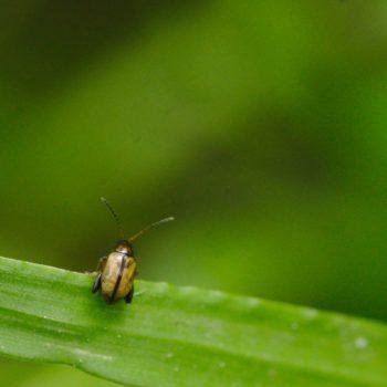 Longitarsus sp. (Flohkäfer)