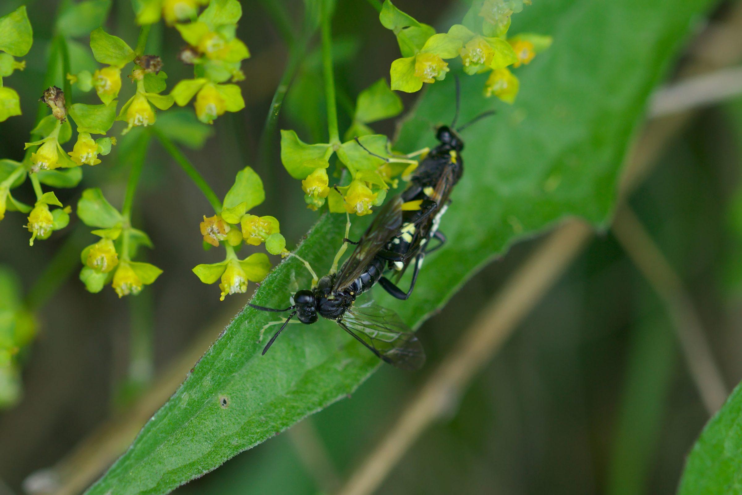 <i>Macrophya montana</i> (Bergblattwespe)