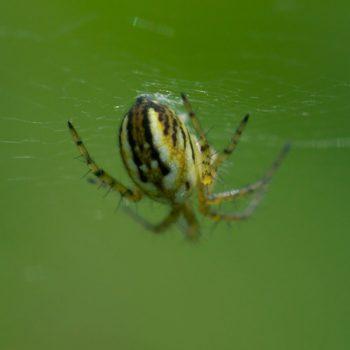 Mangora acalypha (Streifen-Kreuzspinne)