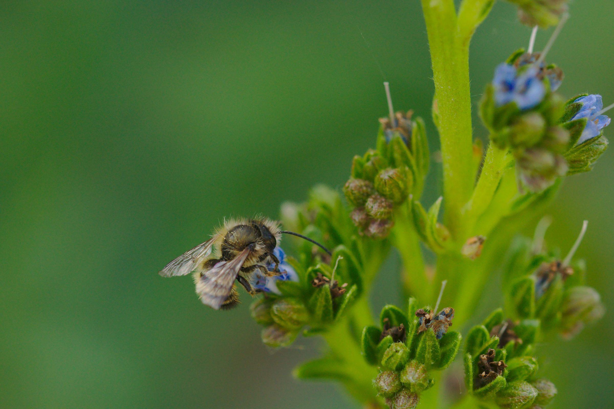 Megachilidae sp. (Biene)