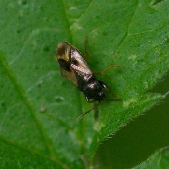 Megalonotus praetextatus (Wanze)
