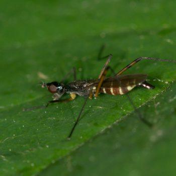 Micropeza corrigiolata (Stelzfliege)