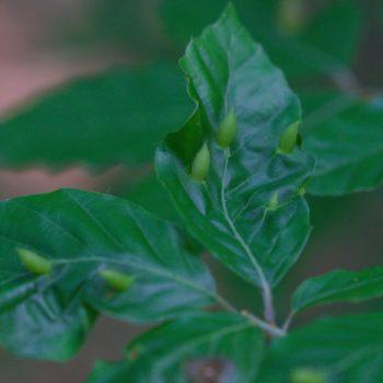 Mikiola fagi (Buchengallmücke)