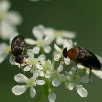 Mordellochroa abdominalis (Rotbauchiger Stachelkäfer)
