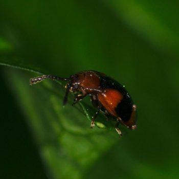 Mycetina cruciata (Kreuzbinden-Pilzkäfer)