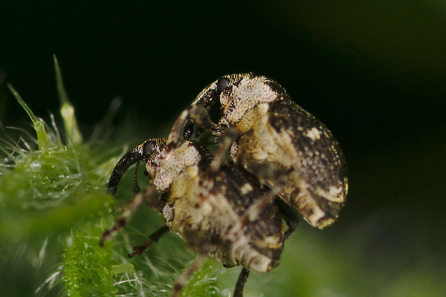<i>Nedyus quadrimaculatus</i> (Gefleckter Brennnesselrüssler)