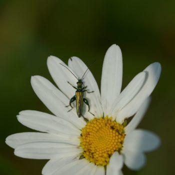 Oedemera nobilis (Grüner Scheinbockkäfer)