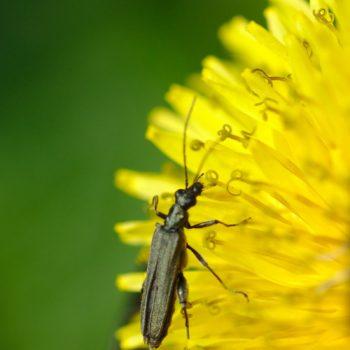Oedemera virescens (Graugrüner Schenkelkäfer)