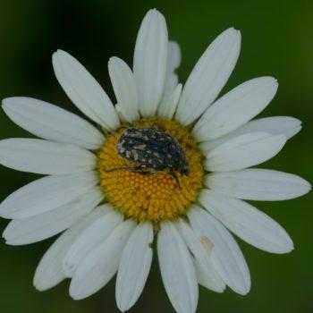 Oxythyrea funesta (Trauer-Rosenkäfer)