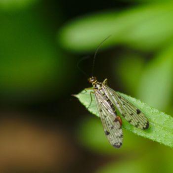Panorpa germanica (Deutsche Skorpionsfliege)