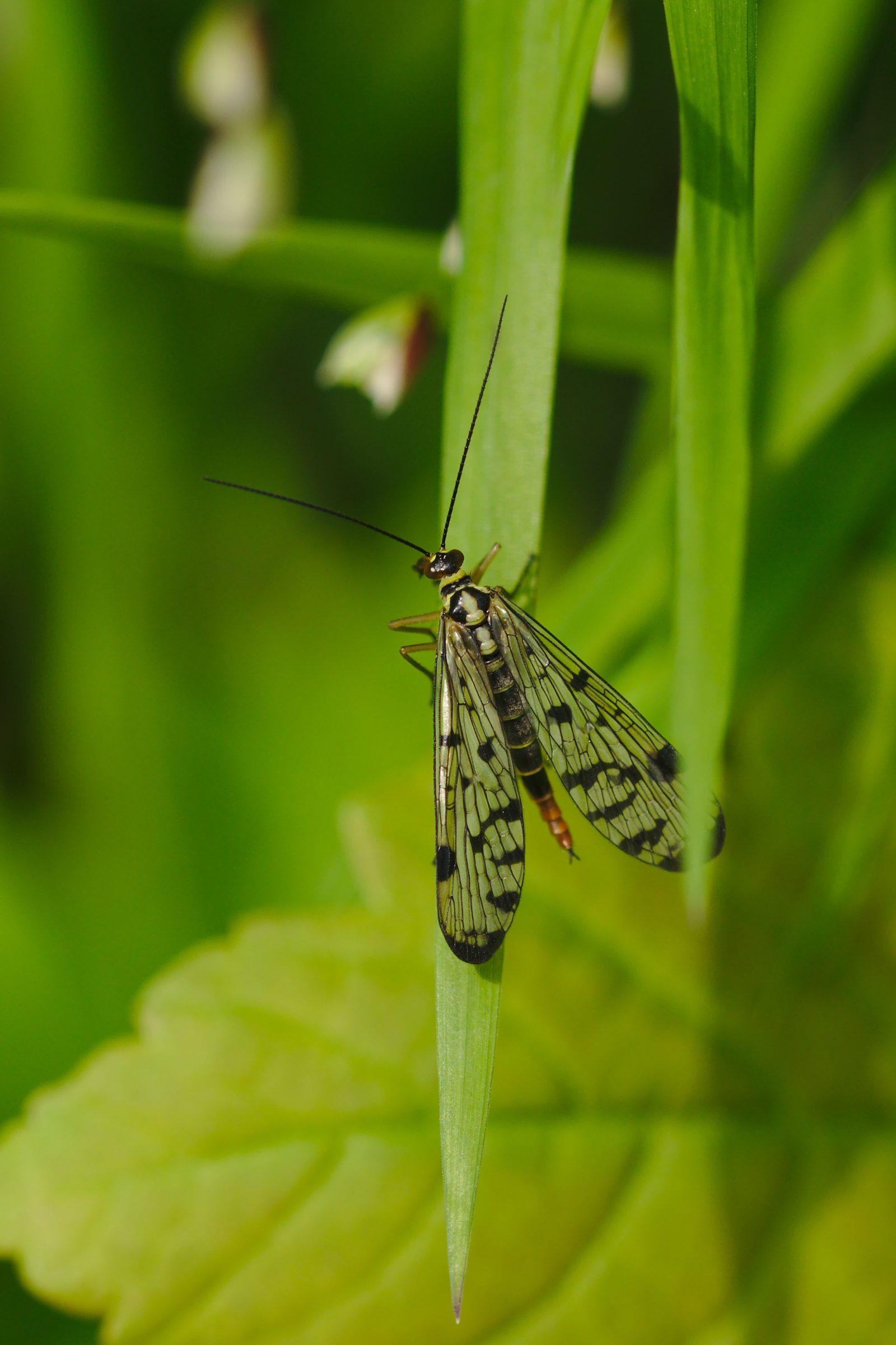 "<a href=""/panorpa-germanica/"" target=""_blank"" rel=""noopener noreferrer""><i>Panorpa germanica</i> (Deutsche Skorpionsfliege)</a>"