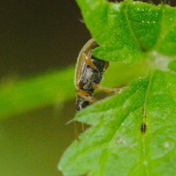 Phyllobius oblongus (Zweifarbiger Schmalbauchrüssler)