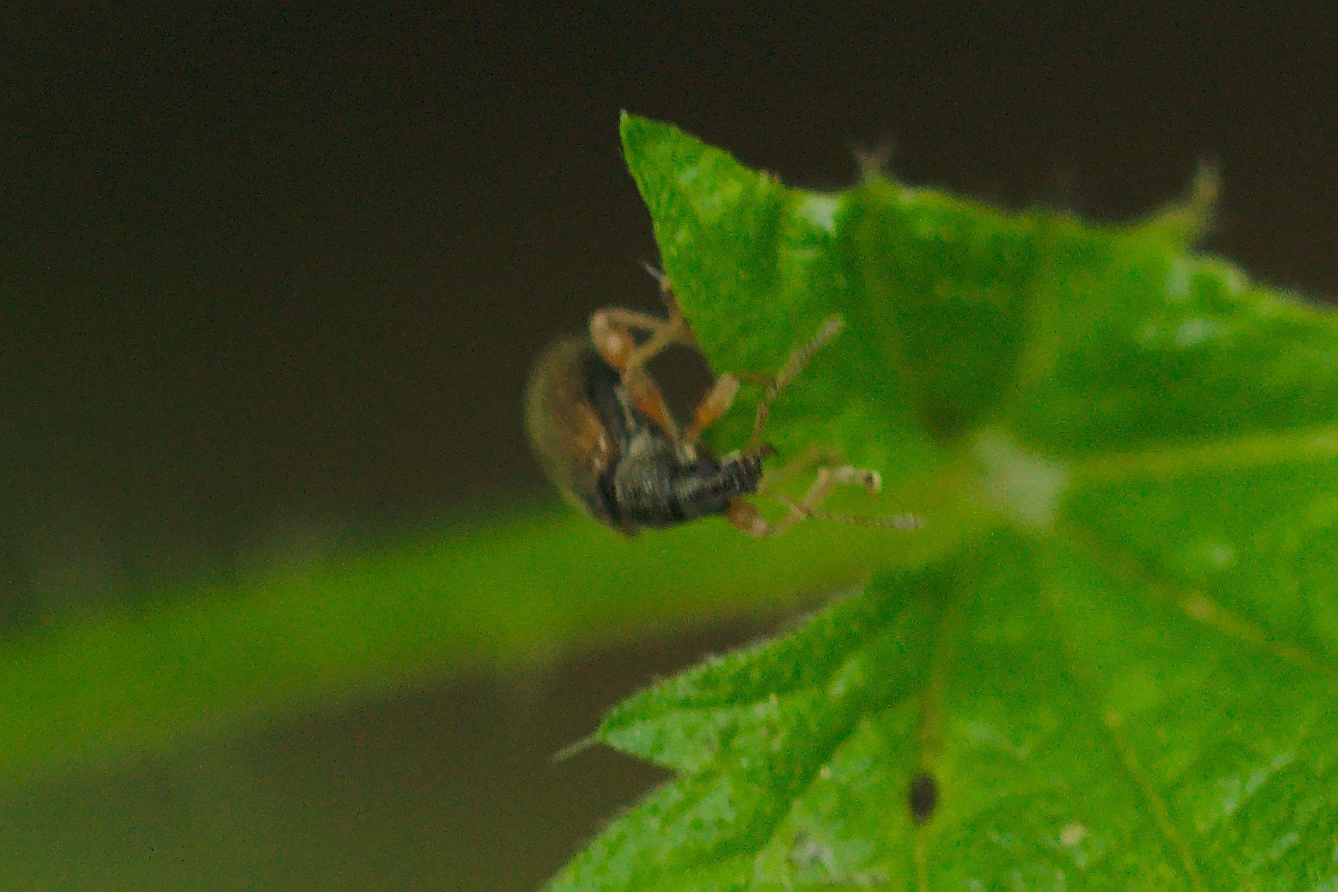 <i>Phyllobius oblongus</i> (Zweifarbiger Schmalbauchrüssler)