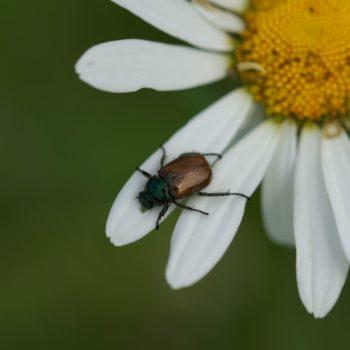 Phyllopertha horticola (Gartenlaubkäfer)