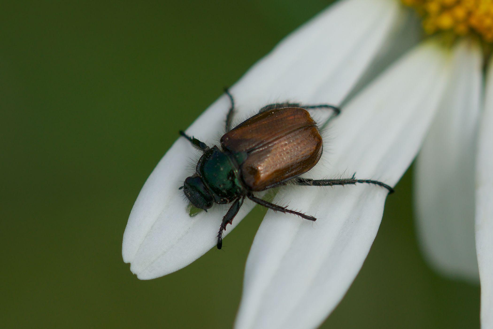 "<a href=""/phyllopertha-horticola/"" target=""_blank"" rel=""noopener noreferrer""><i>Phyllopertha horticola</i> (Gartenlaubkäfer)</a>"