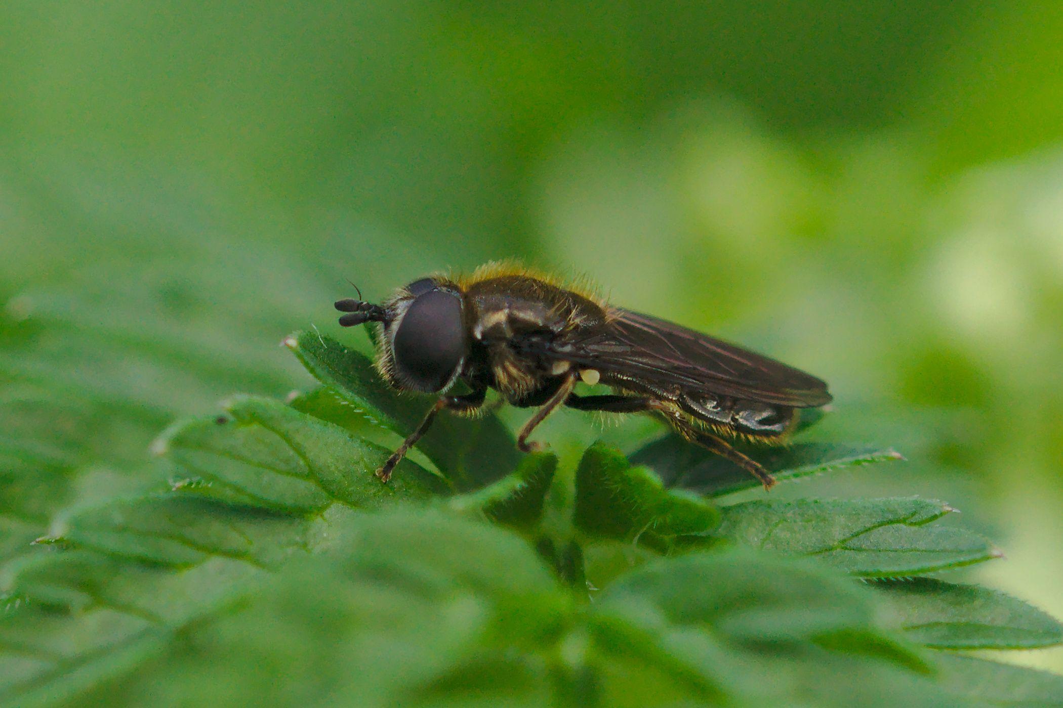 <i>Pipizella virens</i> (Schwebfliege)