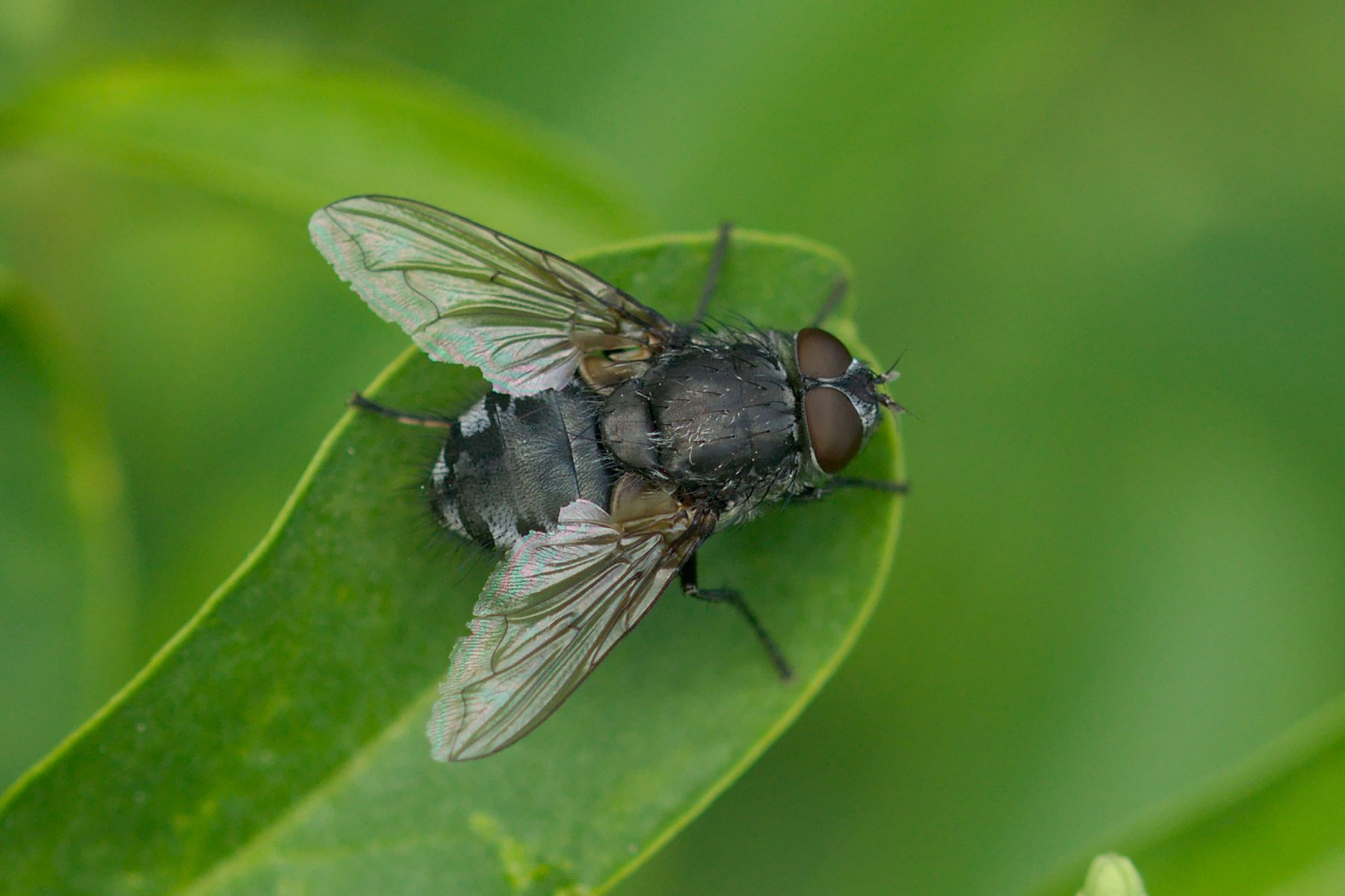 "<a href=""/pollenia-sp/"" target=""_blank"" rel=""noopener noreferrer""><i>Pollenia</i> sp. (Schmeißfliege)</a>"