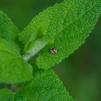 Propylea quatuordecimpunctata (Vierzehnpunkt-Marienkäfer)