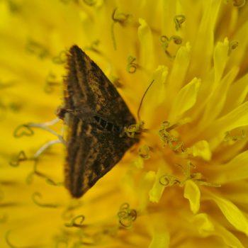Pyraustinae