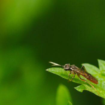 Tenthredo ferruginea (Blattwespe)