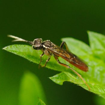 Tenthredo ferruginea (Echte Blattwespe)