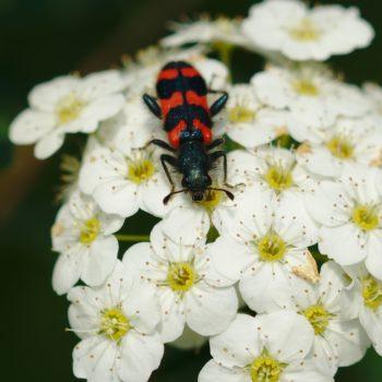 Trichodes alvearius (Zottiger Bienenkäfer)