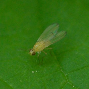 Tricholauxania praeusta (Polierfliege)