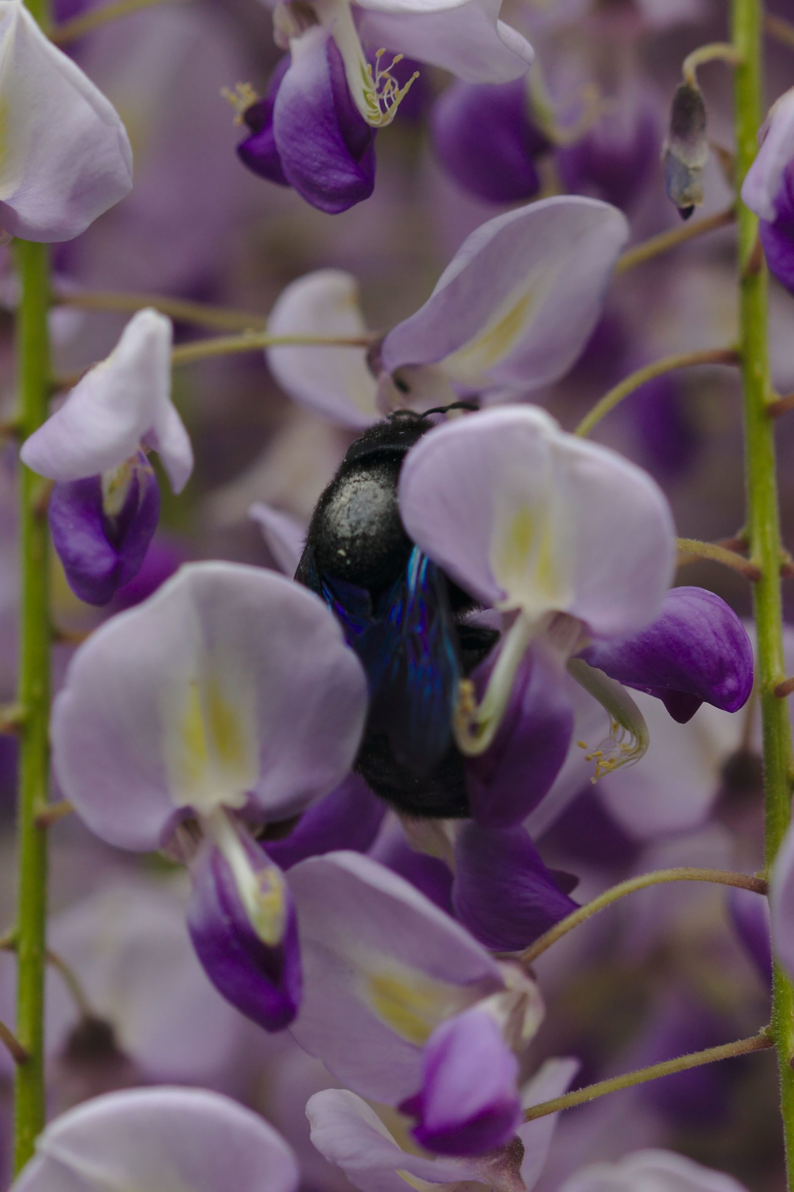 <i>Xylocopa violacea</i> (Große Holzbiene)