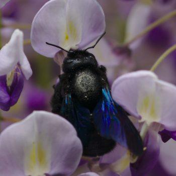 Xylocopa violacea (Große Holzbiene)