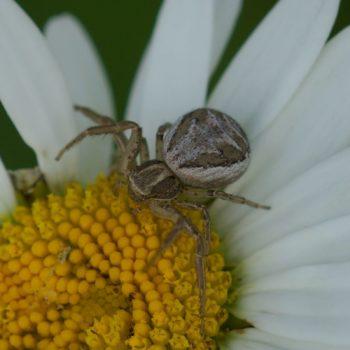 Xysticus cristatus-Gruppe (Krabbenspinne)