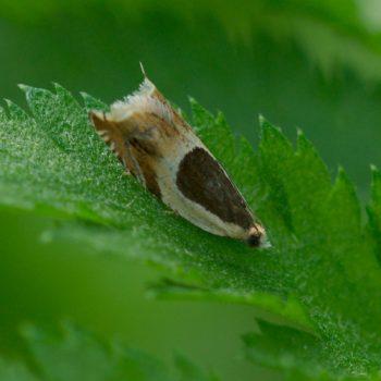 Olethreutinae