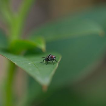 Anthomyia sp. (Blumenfliege)