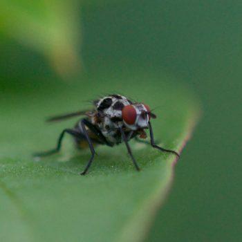Anthomyia sp. (Blumenfliege) - Portugal