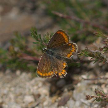 Aricia cramera (Südlicher Sonnenröschen-Bläuling)