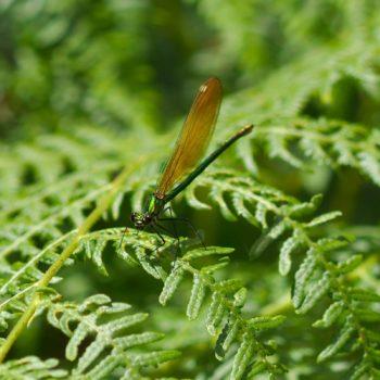 Calopteryx xanthostoma (Westliche Prachtlibelle) - Portugal