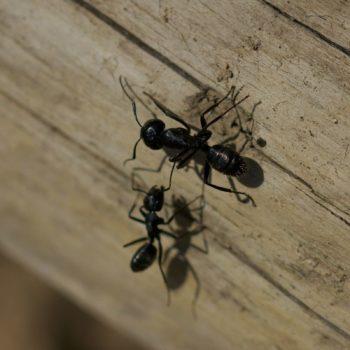 Camponotus aethiops (Rossameise)