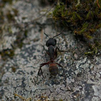 Camponotus cruentatus (Rossameise)