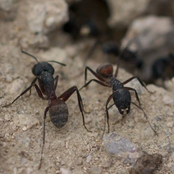 Camponotus cruentatus (Rossameise) - Portugal