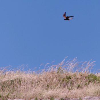 Falco tinnunculus (Turmfalke)