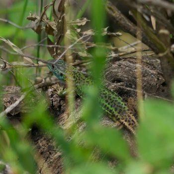Lacerta schreiberi (Iberische Smaragdeidechse)