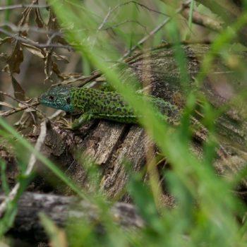Lacerta schreiberi (Iberische Smaragdeidechse) - Portugal